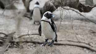Honey bees blamed for deaths of 65 penguins at Boulders Beach