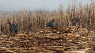 Lack of milling capacity a looming threat for sugar farmers