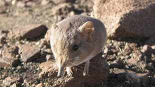 The finding of the shrew: Lost species of tiny mammal rediscovered in Djibouti