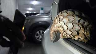 Two arrested in Pretoria CBD for allegedly trying to sell pangolin for R350 000