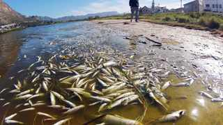 120412. Cape Town. Thousands of dead fish have been found in the waterways around Marina Da Gama. Residents are now unhappy with the situation, authorities and Cape Nature. Marina da Gama, near Muizenberg is surrounded by water channels of the Zandvlei Estuary Nature Reserve. Residents say this is the worst they have seen it. The water is a reddish brown colour. Authorities say oxygen depletion in the water was the cause. Picture henk kruger/cape argus. reporter Neo Madlitla