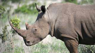 A CONSERVATION official and a North West businessman have been arrested in connection with illegal rhino horn trade. File Photo: Armand Hough
