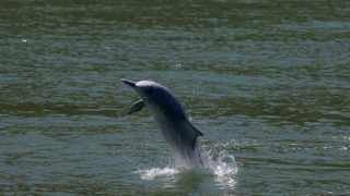 A Chinese white dolphin jumps out of the sea in Hong Kong. The National Sea Rescue Institute has hailed the beachgoers who raised the alarm after a dolphin washed on to rocks at Lower Point, Jeffreys Bay.