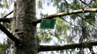 A Qiaojia five-needled pine in the wild and a label on it. (Photo/Yan Keren)