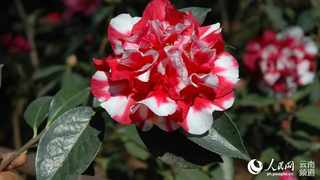 A camellia flower in full bloom at the Kunming Botanical Garden in Kunming, capital city of southwest China's Yunnan province. Pic: People's Daily Online/ Li Faxing