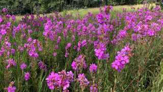 A field of dissotis canescens, commonly named the pink wild tibouchina