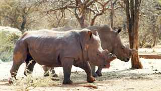 A file picture of rhinos on Dawie Groenewald's farm. Picture: Reuters