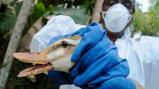 A health worker culls a duck at a duck farm in Dolura village, about 40 km (25 miles) west of Agartala, the capital of India's northeastern state of Tripura. File picture: Reuters