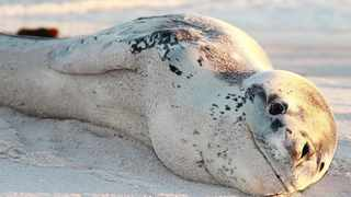 A leopard seal attacked three spearfishermen and the NSRI is cautioning the public around sea animals, especially seals. Pictured here is a young leopard seal that was spotted on the beach at Misty Cliffs. File Photo: Luke Kruyt