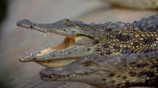 A total of 51 crocodiles have been shot and 32 recaptured since the reptiles escaped when they found a weak spot in the perimeter fencing of one of the enclosures. Picture: Ayanda Ndamane/African News Agency