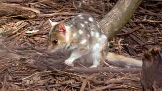 Among the species is the Australian eastern quoll, which has been listed as 'endangered' since 2005. Picture: Wikimedia Commons