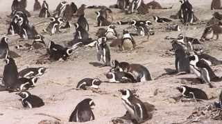 """An investigation has been launched into the """"unusual"""" deaths of 63 penguins at the Boulders African penguin colony in Simon's Town this week after they were stung by Cape Honey bees. Picture: Andrew Ingram"""