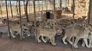 An overcrowded camp with lion cubs of the same age. Photo: Blood Lions