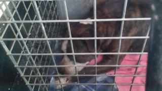 Bingo after being collected by the SPCA following an attack in Bonteheuwel yesterday.