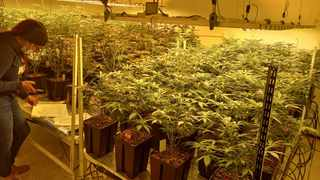 Cannabis has the potential to reinvorate and transform the South African economy, Fica believes. File image.