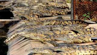 Crocodiles escaped from a commercial farm in Angora near Bonnievale in the Western Cape. Twenty-seven crocodiles have been captured since their escape from a breeding farm outside of Bonnievale on Wednesday morning. Picture: Ayanda Ndamane African News Agency