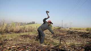 Earlier this year, when the Covid-19 pandemic triggered stringent economic lockdowns, South African cane growing, as part of the agricultural sector, was declared an essential industry. Photo: Bongani Mbatha African News Agency (ANA)