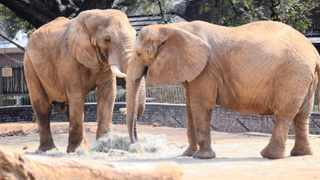 Elephants share a morning meal at the National Zoological Gardens in Pretoria. File picture: Etienne Creux