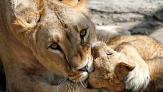 """Environment Minister Barbara Creecy on Sunday revealed plans to ban the breeding of lions in captivity for trophy hunting or for tourists to pet, advocating a more """"authentic"""" experience for visitors. File picture: Reuters"""