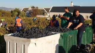 Farm workers at the Thokozani/Diemersfontein Wine Estate during a previous harvest. Picture: Supplied