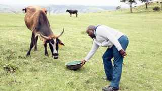 Farmer Zethembe Mbanjwa takes care of his livestock during the recent drought in KZN.