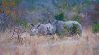 File photo: Kruger National Park. A night drive, a spot light shines onto rhino walking through the bush. Picture: Karen Sandison/African News Agency (ANA)