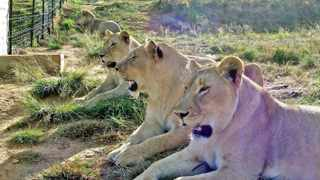 File photo: The worldwide campaign against lions being bred for the bullet has now reached more than 11 million people.