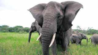 Frankie the matriach elephant, who has died, led with wisdom and commanded respect from her herd. Picture: Kim Mcleod