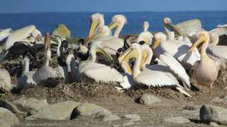 Great white pelicans, listed as vulnerable in the Western Cape, are colonial breeders, currently only breeding on Dassen Island. Picture: Supplied