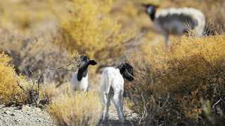 HARD HIT: Sheep graze on land. Western Cape farmers have changed the way they do things as a result of the drought.