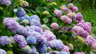 Hydrangeas in full bloom are a delight of the shady, summer garden. Picture: Hans Braxmeier/Pixabay