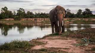 In recent years, massive seizures of ivory signal a headlong rush toward elephant extermination. The modern method of elephant killing is shockingly inhumane: Poachers use cyanide and poison-tipped arrows or spears, incapacitating elephants and causing a slow, excruciating death. Picture: Taylor Weidman/Bloomberg