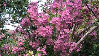 Karomia speciosa (southern Chinese hats) is a shrub to small tree that produces a combination of paper-like pink and purple flowers. Pruned correctly, it will grow into a compact flowering shrub.