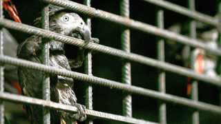 LET ME OUT: Missing most of its feathers due to stress, an African Grey parrot clings to a cage in state quarantine.The birds are believed to have been caught by hunters in the DRC and smuggled into South Africa. Picture: Jennifer Bruce
