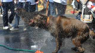 Leipoldt, a chocolate Labrador at a water sprikle who also Participated at the city's annual Discovery 702 Walk the Talk which started at the Marks park..519 Picture:Matthews Baloyi 7/25/2010