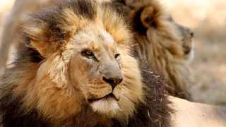 Minister of Forestry, Fisheries and Environmental Affairs Barbara Creecy said that Parliament will be looking at a ban on captive lion breeding for petting and hunting purposes. Picture: Werner Beukes/SAPA