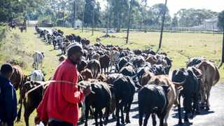 More than 300 Zulu King Goodwill Zwelithini cows leaving KwaKhethomdandayo Royal Palace to graze while the family prepares for the burial of untimely passing of Her Majesty Queen Shiyiwe Mantfombi Dlamini Zulu, Regent of the Zulu nation. Picture : Motshwari Mofokeng/ African News Agency (ANA)