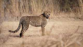 Njozi, a female cheetah from Rietvlei Nature reserve has escaped. Picture: Garry Harris