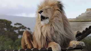 OBI the lion survived the captive breeding industry and currently resides at Panthera Africa, also referred to as The Big Cat Sanctuary, in Stanford. Picture: Tracey Adams/African News Agency (ANA)