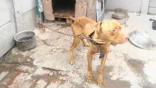 One of the malnourished dogs found at a Lentegeur, Mitchells Plain, property. Picture: Supplied