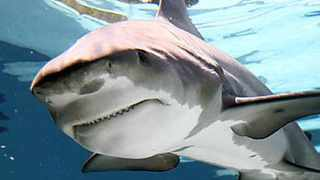 POSSIBLE ATTACKER: A bull shark, similar to the one that is thought to have attacked a bather at Port St Johns on Christmas Day.
