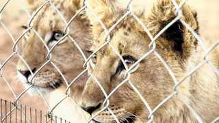 """""""Permits and animal welfare should go together and they don't. Provincial officials just look at the basic requirements and say, 'okay this cage is four by five, and there's the right kind of fencing', as per the minimum requirement, and give the permits. File picture: EPA"""