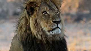 Petition to stop unlawful killing of lions is under way. Picture: Filed.