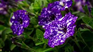 Petunias require well-draining, aerated and slightly acidic soil. Pictures: Supplied