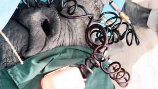 Poison and red dye are injected into the horn of a sedated white rhino using high pressure equipment.