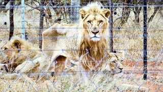Rack-and stack captive-bred lion bones ready for export. File photo: African News Agency (ANA)