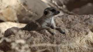 Researchers recorded a range of meerkat vocal sounds and played them to wild meerkats in the Kalahari Desert in South Africa.