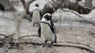 Sanccob veterinarian David Roberts said that while it was unusual for the penguins to mix with the Cape honey bees, it's not unusual for the bees to be defensive if they felt under threat. Picture: Armand Hough/African News Agency (ANA)