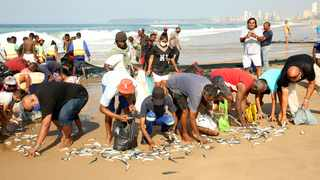 Sardines netted just south of Blue Lagoon in Durban, as the public rush to grab those that escaped the net. Shelley Kjonstad/ African News Agency (ANA)
