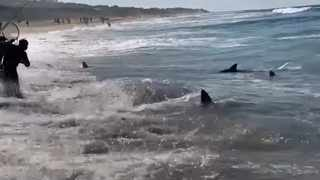 Sharks compete with fishermen for sardines at Pennington Beach near Scottburgh on the KZN south coast. Screengrab from Facebook video